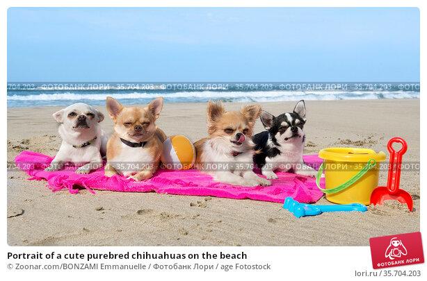 Portrait of a cute purebred chihuahuas on the beach. Стоковое фото, фотограф Zoonar.com/BONZAMI Emmanuelle / age Fotostock / Фотобанк Лори