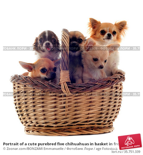 Portrait of a cute purebred five chihuahuas in basket in front of... Стоковое фото, фотограф Zoonar.com/BONZAMI Emmanuelle / age Fotostock / Фотобанк Лори