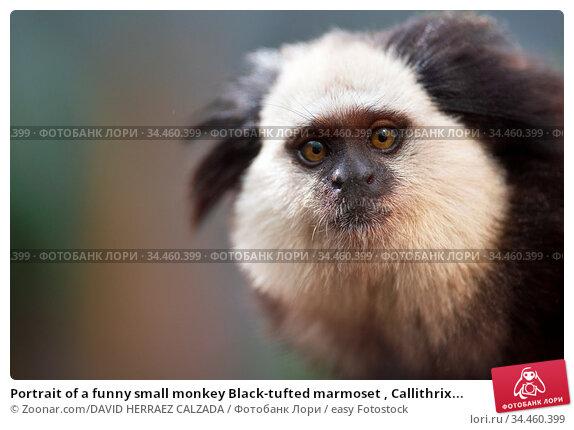 Portrait of a funny small monkey Black-tufted marmoset , Callithrix... Стоковое фото, фотограф Zoonar.com/DAVID HERRAEZ CALZADA / easy Fotostock / Фотобанк Лори