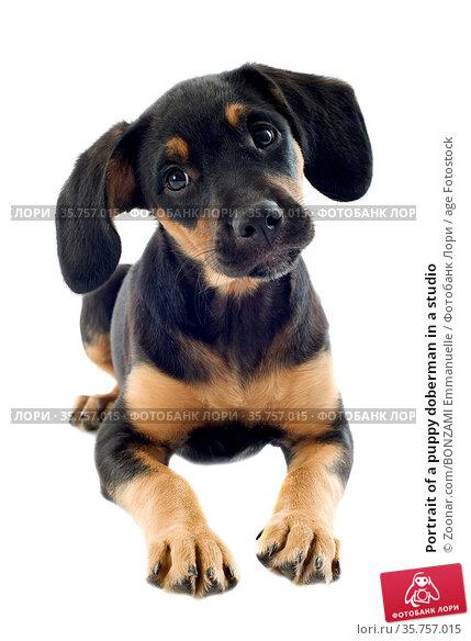 Portrait of a puppy doberman in a studio. Стоковое фото, фотограф Zoonar.com/BONZAMI Emmanuelle / age Fotostock / Фотобанк Лори