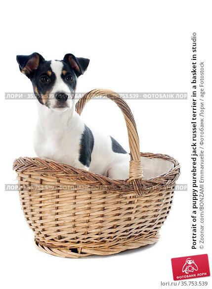 Portrait of a puppy purebred jack russel terrier in a basket in studio. Стоковое фото, фотограф Zoonar.com/BONZAMI Emmanuelle / age Fotostock / Фотобанк Лори