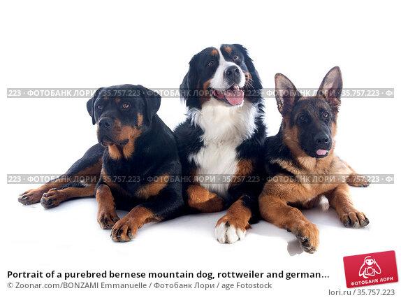 Portrait of a purebred bernese mountain dog, rottweiler and german... Стоковое фото, фотограф Zoonar.com/BONZAMI Emmanuelle / age Fotostock / Фотобанк Лори