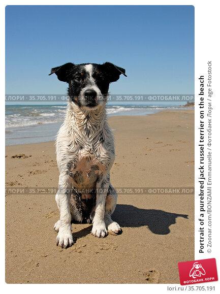Portrait of a purebred jack russel terrier on the beach. Стоковое фото, фотограф Zoonar.com/BONZAMI Emmanuelle / age Fotostock / Фотобанк Лори
