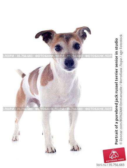 Portrait of a purebred jack russel terrier senior in studio. Стоковое фото, фотограф Zoonar.com/BONZAMI Emmanuelle / age Fotostock / Фотобанк Лори