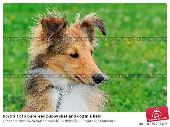 Portrait of a purebred puppy shetland dog in a field. Стоковое фото, фотограф Zoonar.com/BONZAMI Emmanuelle / age Fotostock / Фотобанк Лори