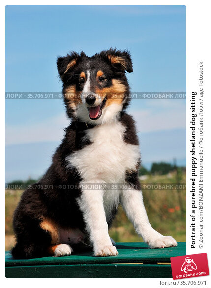 Portrait of a purebred puppy shetland dog sitting. Стоковое фото, фотограф Zoonar.com/BONZAMI Emmanuelle / age Fotostock / Фотобанк Лори