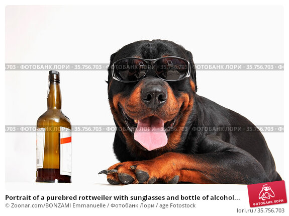 Portrait of a purebred rottweiler with sunglasses and bottle of alcohol... Стоковое фото, фотограф Zoonar.com/BONZAMI Emmanuelle / age Fotostock / Фотобанк Лори