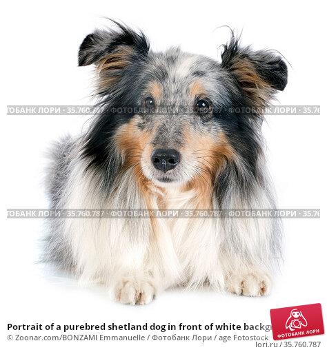 Portrait of a purebred shetland dog in front of white background. Стоковое фото, фотограф Zoonar.com/BONZAMI Emmanuelle / age Fotostock / Фотобанк Лори
