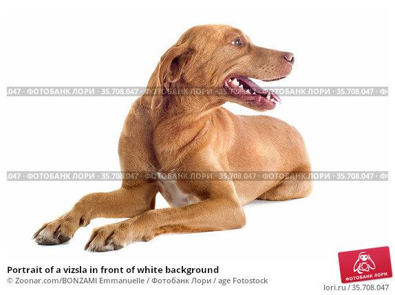 Portrait of a vizsla in front of white background. Стоковое фото, фотограф Zoonar.com/BONZAMI Emmanuelle / age Fotostock / Фотобанк Лори