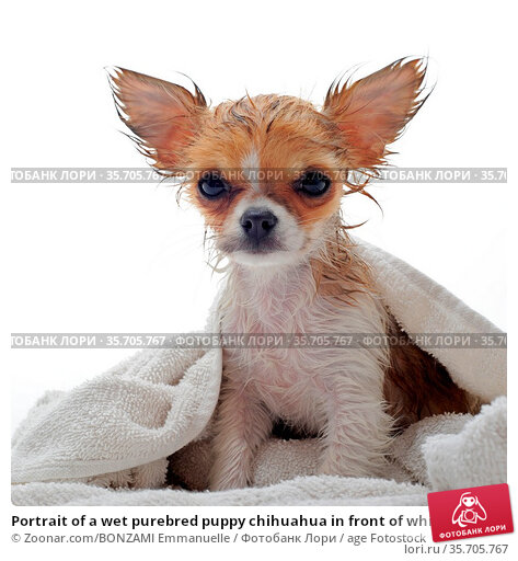 Portrait of a wet purebred puppy chihuahua in front of white background. Стоковое фото, фотограф Zoonar.com/BONZAMI Emmanuelle / age Fotostock / Фотобанк Лори