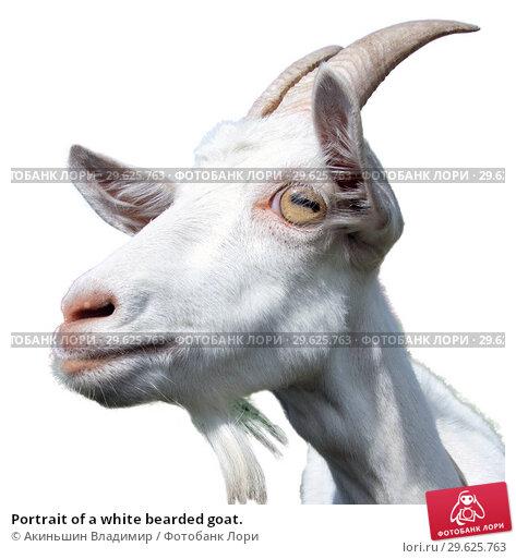 Купить «Portrait of a white bearded goat.», фото № 29625763, снято 22 июля 2012 г. (c) Акиньшин Владимир / Фотобанк Лори