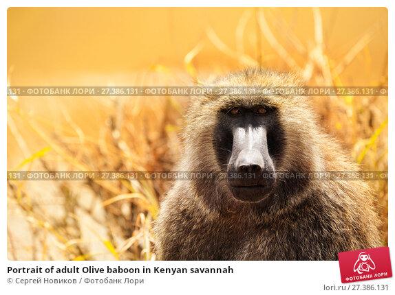 Купить «Portrait of adult Olive baboon in Kenyan savannah», фото № 27386131, снято 19 августа 2015 г. (c) Сергей Новиков / Фотобанк Лори
