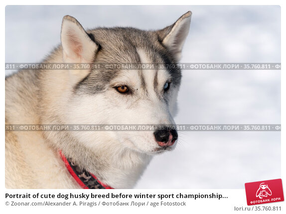 Portrait of cute dog husky breed before winter sport championship... Стоковое фото, фотограф Zoonar.com/Alexander A. Piragis / age Fotostock / Фотобанк Лори