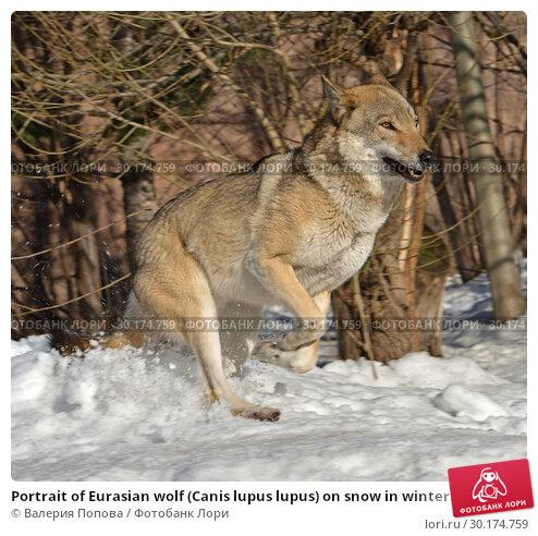 Купить «Portrait of Eurasian wolf (Canis lupus lupus) on snow in winter. Fun game», фото № 30174759, снято 17 февраля 2019 г. (c) Валерия Попова / Фотобанк Лори