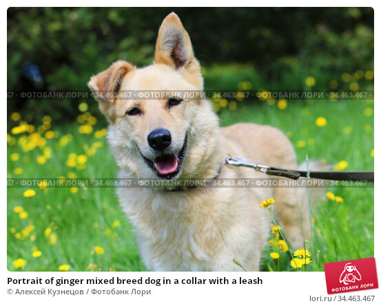 Portrait of ginger mixed breed dog in a collar with a leash. Стоковое фото, фотограф Алексей Кузнецов / Фотобанк Лори
