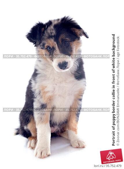 Portrait of puppy border collie in front of white background. Стоковое фото, фотограф Zoonar.com/BONZAMI Emmanuelle / age Fotostock / Фотобанк Лори