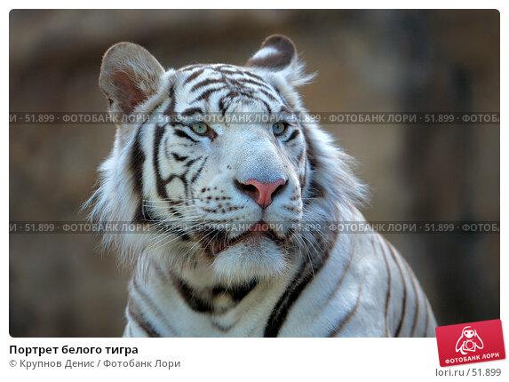 Портрет белого тигра, фото № 51899, снято 11 мая 2007 г. (c) Крупнов Денис / Фотобанк Лори