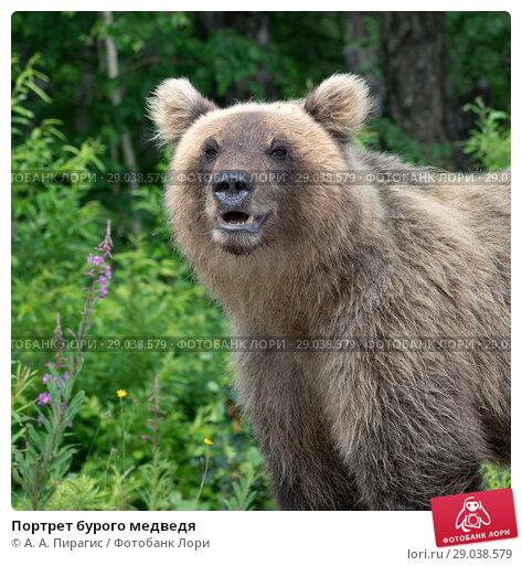 Купить «Портрет бурого медведя», фото № 29038579, снято 30 июля 2018 г. (c) А. А. Пирагис / Фотобанк Лори
