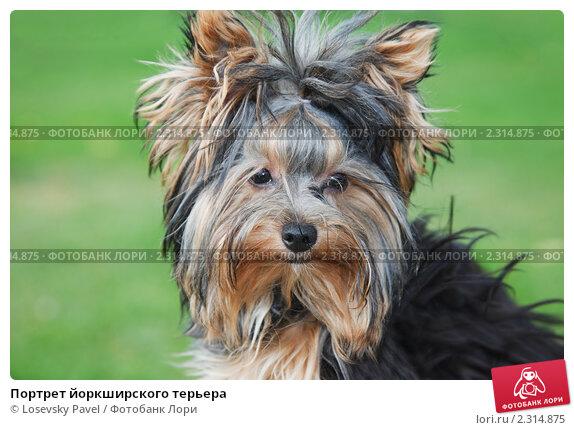 Купить «Портрет йоркширского терьера», фото № 2314875, снято 16 августа 2009 г. (c) Losevsky Pavel / Фотобанк Лори