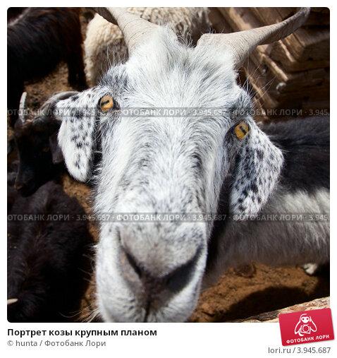Купить «Портрет козы крупным планом», фото № 3945687, снято 22 мая 2012 г. (c) hunta / Фотобанк Лори