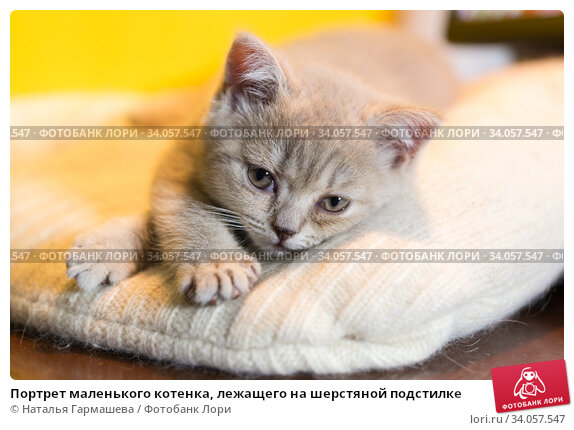 Купить «Портрет маленького котенка, лежащего на шерстяной подстилке», фото № 34057547, снято 30 мая 2020 г. (c) Наталья Гармашева / Фотобанк Лори