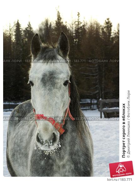Портрет серого в яблоках, фото № 183771, снято 19 января 2008 г. (c) Дмитрий Лемешко / Фотобанк Лори