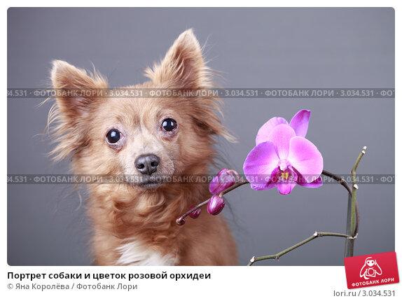 Купить «Портрет собаки и цветок розовой орхидеи», эксклюзивное фото № 3034531, снято 25 мая 2019 г. (c) Яна Королёва / Фотобанк Лори
