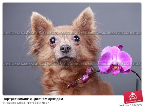 Купить «Портрет собаки с цветком орхидеи», эксклюзивное фото № 3034535, снято 16 июля 2018 г. (c) Яна Королёва / Фотобанк Лори