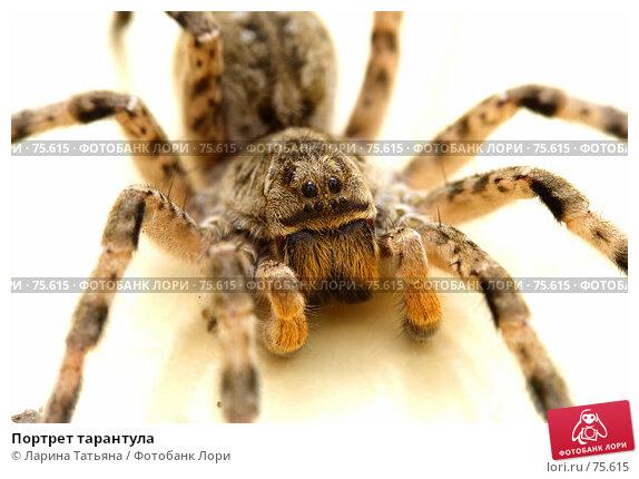 Портрет тарантула, фото № 75615, снято 18 августа 2007 г. (c) Ларина Татьяна / Фотобанк Лори