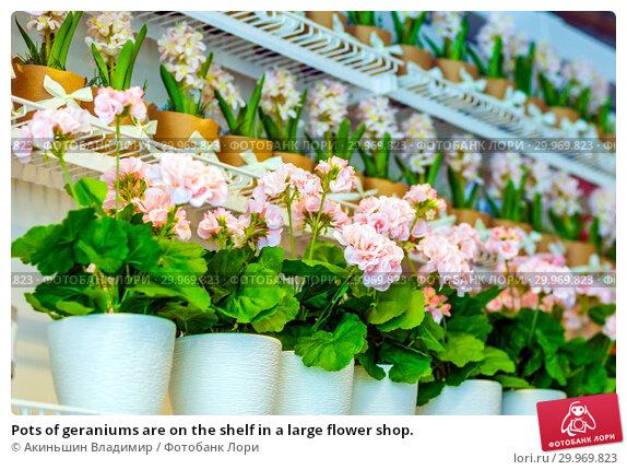 Купить «Pots of geraniums are on the shelf in a large flower shop.», фото № 29969823, снято 16 января 2019 г. (c) Акиньшин Владимир / Фотобанк Лори