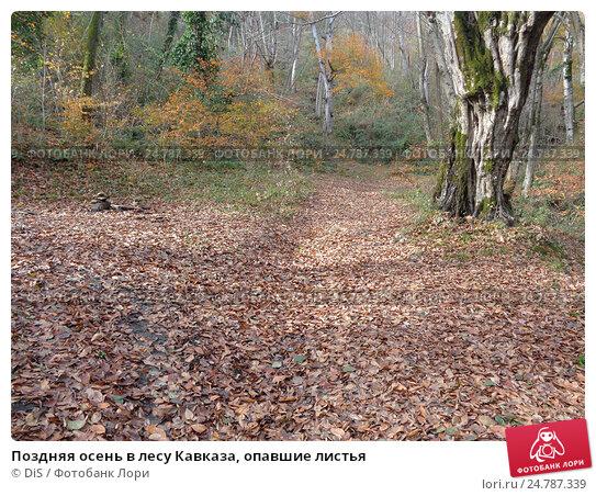 Купить «Поздняя осень в лесу Кавказа, опавшие листья», фото № 24787339, снято 8 декабря 2016 г. (c) DiS / Фотобанк Лори