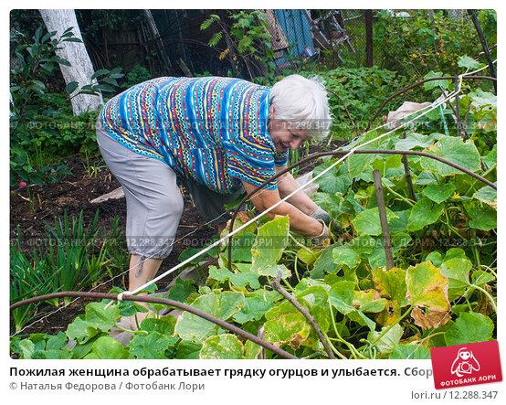 Купить «Пожилая женщина обрабатывает грядку огурцов и улыбается. Сбор урожая», эксклюзивное фото № 12288347, снято 16 августа 2015 г. (c) Наталья Федорова / Фотобанк Лори