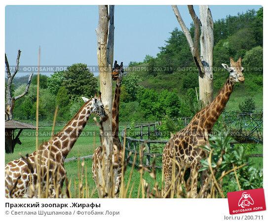 Пражский зоопарк .Жирафы, фото № 200711, снято 9 мая 2006 г. (c) Светлана Шушпанова / Фотобанк Лори