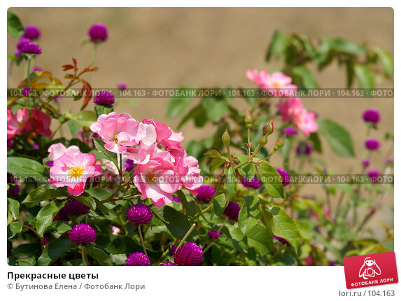 Прекрасные цветы, фото № 104163, снято 25 октября 2016 г. (c) Бутинова Елена / Фотобанк Лори