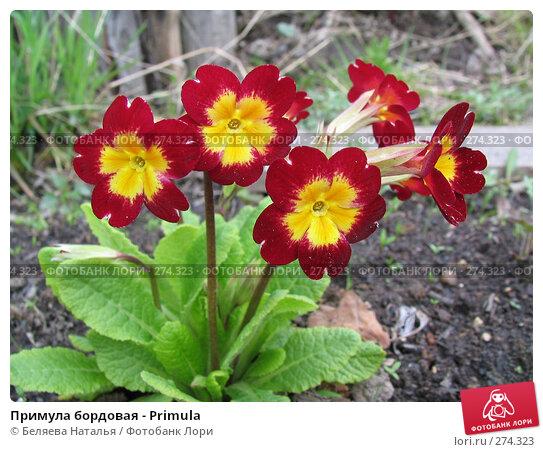 Примула бордовая - Primula, фото № 274323, снято 27 мая 2006 г. (c) Беляева Наталья / Фотобанк Лори