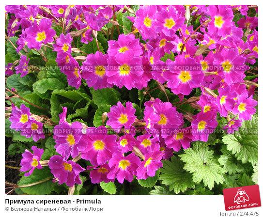 Примула сиреневая - Primula, фото № 274475, снято 26 мая 2007 г. (c) Беляева Наталья / Фотобанк Лори
