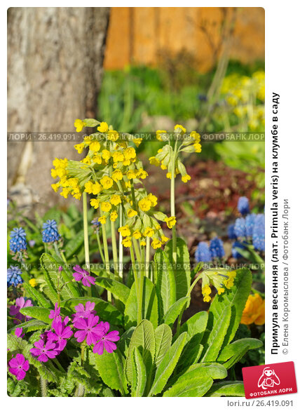 Купить «Примула весенняя (лат. Primula veris) на клумбе в саду», фото № 26419091, снято 26 мая 2017 г. (c) Елена Коромыслова / Фотобанк Лори