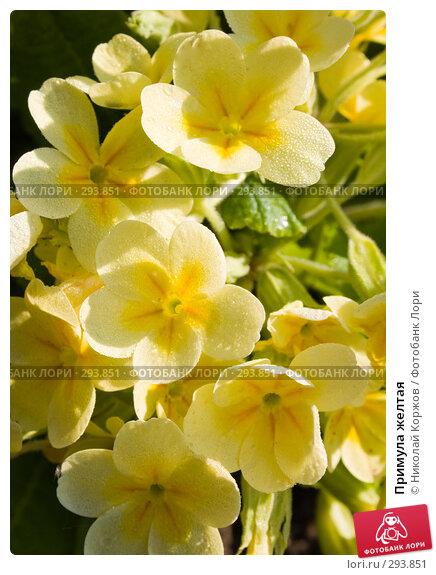 Купить «Примула желтая», фото № 293851, снято 18 мая 2008 г. (c) Николай Коржов / Фотобанк Лори
