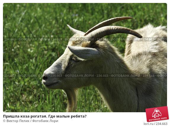 Купить «Пришла коза рогатая. Где малые ребята?», фото № 234663, снято 22 апреля 2018 г. (c) Виктор Пелих / Фотобанк Лори