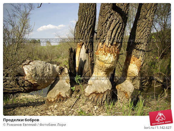Купить «Проделки бобров», фото № 1142627, снято 11 мая 2009 г. (c) Романов Евгений / Фотобанк Лори