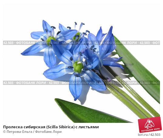 Пролеска сибирская (Scilla Sibirica) с листьями, фото № 42503, снято 7 апреля 2007 г. (c) Петрова Ольга / Фотобанк Лори