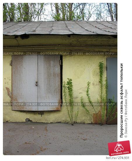 Проросшие сквозь асфальт топольки, фото № 274931, снято 1 мая 2008 г. (c) Заноза-Ру / Фотобанк Лори