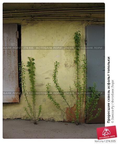 Купить «Проросшие сквозь асфальт топольки», фото № 274935, снято 1 мая 2008 г. (c) Заноза-Ру / Фотобанк Лори