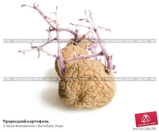 Купить «Проросший картофель», фото № 250791, снято 12 апреля 2008 г. (c) Яков Филимонов / Фотобанк Лори