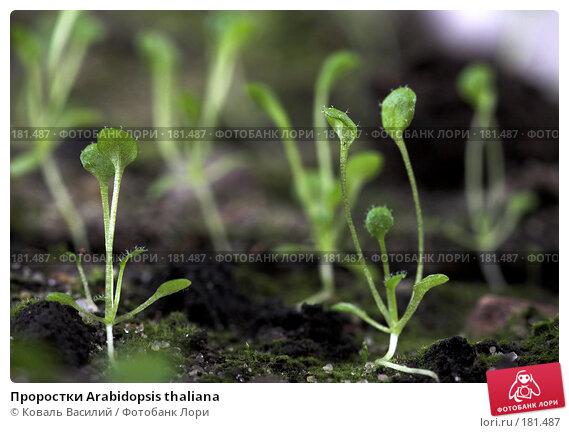 Проростки Arabidopsis thaliana, фото № 181487, снято 9 февраля 2007 г. (c) Коваль Василий / Фотобанк Лори