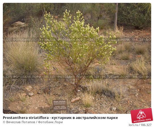 Prostanthera striatiflora - кустарник в австралийском парке, фото № 186327, снято 13 октября 2006 г. (c) Вячеслав Потапов / Фотобанк Лори