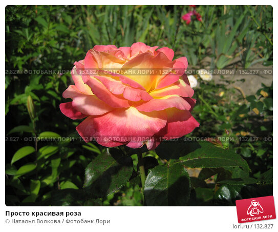 Просто красивая роза, фото № 132827, снято 20 июля 2007 г. (c) Наталья Волкова / Фотобанк Лори