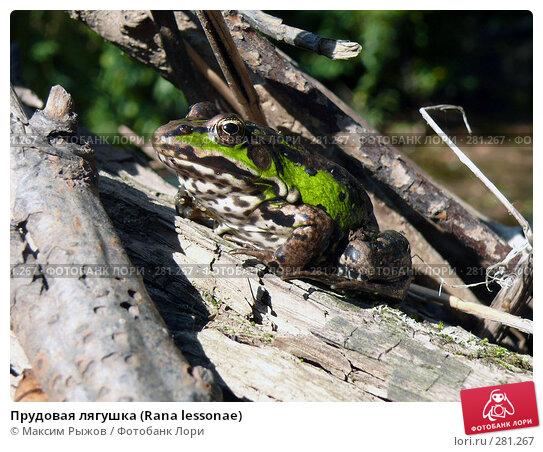 Прудовая лягушка (Rana lessonae), фото № 281267, снято 17 августа 2007 г. (c) Максим Рыжов / Фотобанк Лори