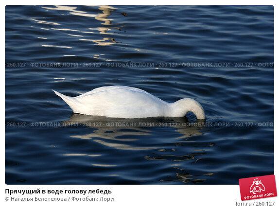 Купить «Прячущий в воде голову лебедь», фото № 260127, снято 29 марта 2008 г. (c) Наталья Белотелова / Фотобанк Лори