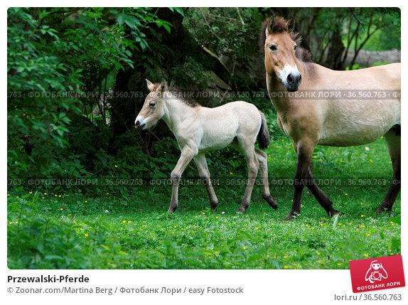 Przewalski-Pferde. Стоковое фото, фотограф Zoonar.com/Martina Berg / easy Fotostock / Фотобанк Лори